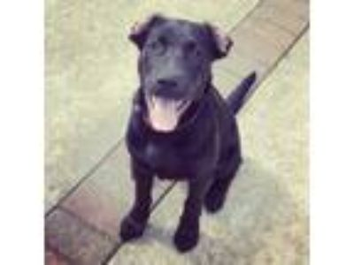 Adopt Wallie a Labrador Retriever