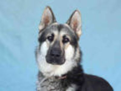 Adopt ROGER a Black - with Tan, Yellow or Fawn German Shepherd Dog / Mixed dog