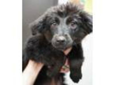 Adopt Bella a Black English Shepherd / Mixed dog in Bridgewater, NJ (25307363)