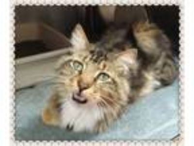 Adopt LENNY-avail 6/15 a Maine Coon