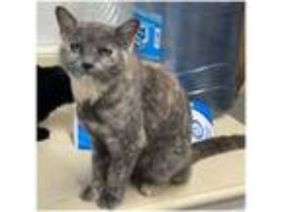 Adopt Dreamy a Domestic Short Hair, Dilute Tortoiseshell