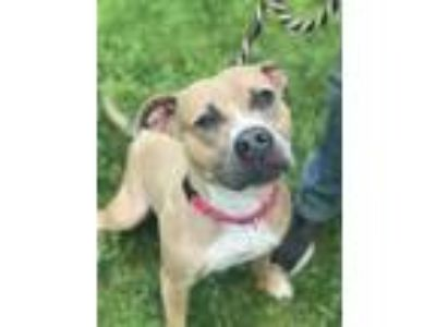 Adopt June a American Pit Bull Terrier / Mixed dog in Birdsboro, PA (25252792)