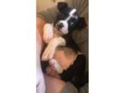 Adopt Bachi a Boston Terrier