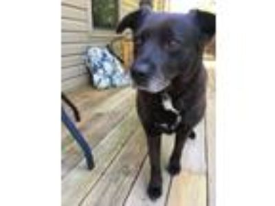 Adopt Blaze a Black - with White Labrador Retriever / German Shepherd Dog /