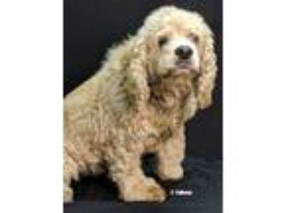 Adopt Toozie a Tan/Yellow/Fawn Cocker Spaniel / Mixed dog in Newland