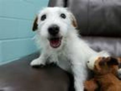 Adopt Blaze a Jack Russell Terrier / Mixed dog in Corpus Christi, TX (25303667)
