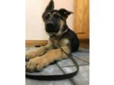 Adopt Chico a Black - with Tan, Yellow or Fawn German Shepherd Dog / Mixed dog