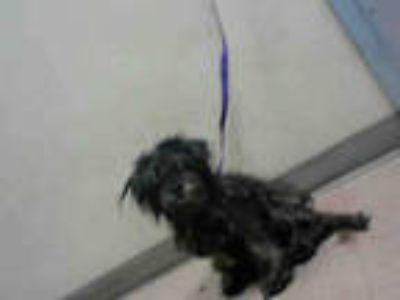 Adopt KITTY a Black Poodle (Miniature) / Mixed dog in San Jose, CA (25372597)