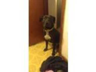Adopt Rogue a Black - with White American Pit Bull Terrier / Labrador Retriever