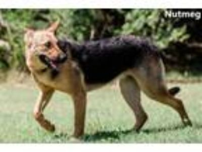 Adopt Nutmeg a German Shepherd Dog, Mixed Breed