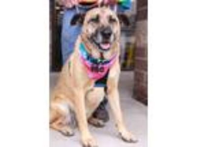 Adopt Stacy a Shepherd