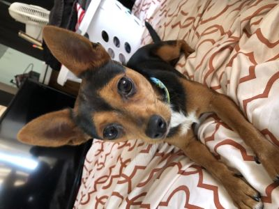 Young,playful,loving chihuahua only 5 month old