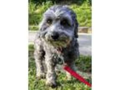Adopt Fred a Schnauzer, Poodle