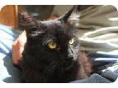 Adopt Natasha a All Black Maine Coon / Mixed (long coat) cat in Los Angeles