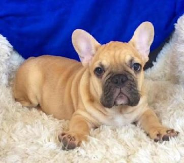 Available for Stud service, Black and Tan Male Blue carrier French Bulldog Male