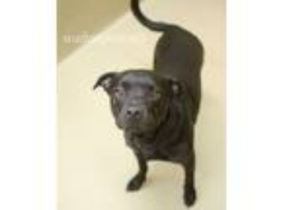 Adopt Hoss a Black Pit Bull Terrier / Mixed dog in Monroe, GA (25547484)