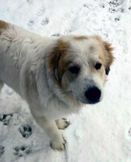 Great Pyrenees DOG FOR ADOPTION ADN-113153 - Denver Great Pyrenees Puppy For Private Adoption