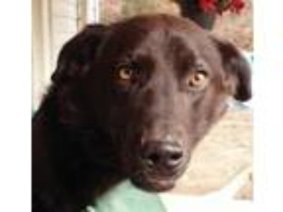 Adopt Buddy a Labrador Retriever, German Shepherd Dog