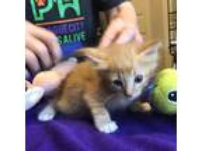 Adopt Sammy a Orange or Red Domestic Shorthair cat in League City, TX (25508262)