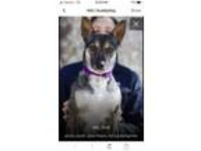 Adopt Kind-hearted Kiki a Swedish Vallhund, German Shepherd Dog