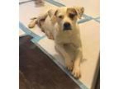 Adopt Hera a White - with Brown or Chocolate Pointer / Mixed dog in Dallas