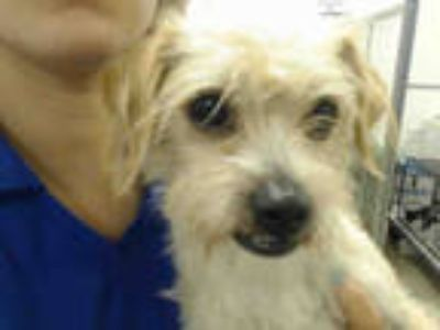 Adopt SPARKY a Tan/Yellow/Fawn Jack Russell Terrier / Mixed dog in Doral