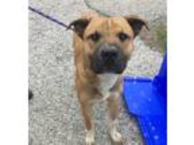 Adopt Bee Bop a Boxer / Shar Pei / Mixed dog in Burlington, KY (25259684)
