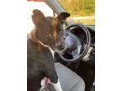 Adopt Kaiah a Black - with White Border Collie / Basenji dog in Norristown