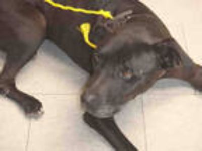 Adopt RUCA a Black American Pit Bull Terrier / Mixed dog in Los Angeles