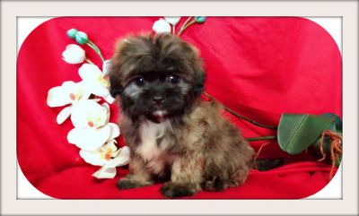 Maltese PUPPY FOR SALE ADN-93810 - BEAUTIFUL MALTESE MIXED WITH SHIH TZU