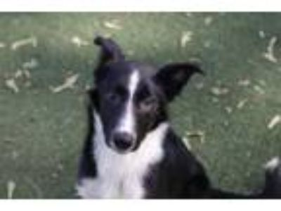 Adopt Brody a Border Collie, Mixed Breed