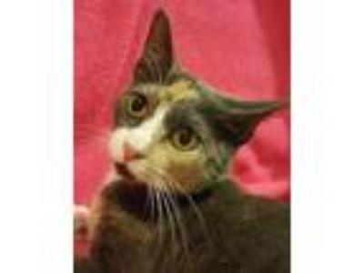 Adopt Helen Roper a Calico or Dilute Calico Calico (short coat) cat in
