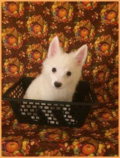 American Eskimo Dog PUPPY FOR SALE ADN-104903 - American Eskimo Jake Male