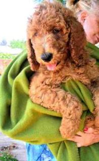 Poodle (Miniature) PUPPY FOR SALE ADN-84740 - Standard Poodle