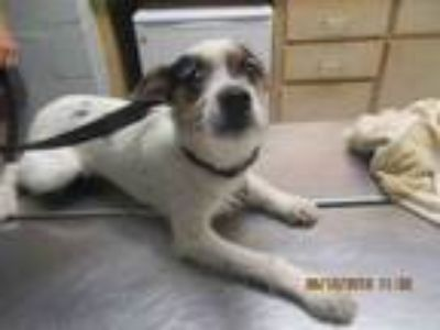 Adopt LEO a Parson Russell Terrier, Mixed Breed