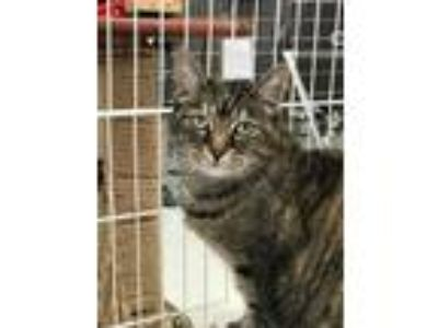 Adopt MIMI a Brown Tabby Domestic Shorthair / Mixed (short coat) cat in Cuyahoga