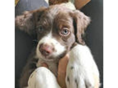 Adopt LUCY a Brittany Spaniel