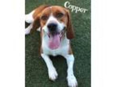 Adopt Copper a Brown/Chocolate Beagle / Mixed dog in Lewisville, TX (25344255)