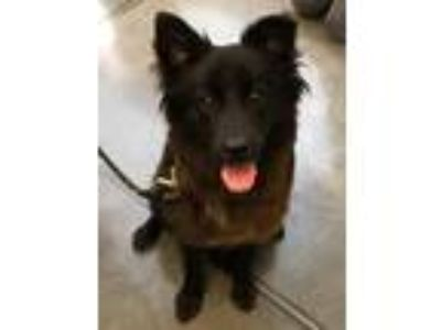 Adopt Noir a Chow Chow / Mixed dog in Pittsburgh, PA (25829399)