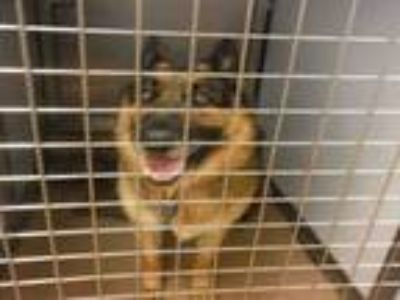 Adopt ROCKY a German Shepherd Dog