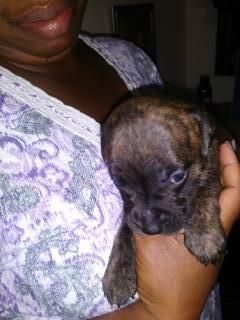 PIT BULL PUPPIES FOR SALE WITH PAPERS