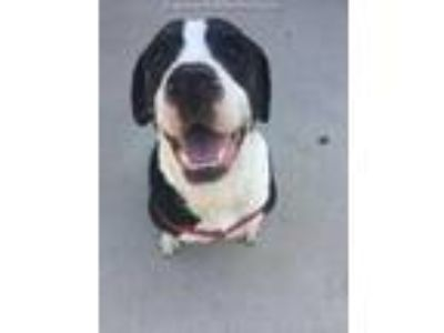 Adopt GRASSHOPPER a Black - with White American Pit Bull Terrier / Mixed dog in