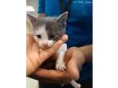 Adopt KITTY 4 a Gray or Blue Domestic Shorthair / Domestic Shorthair / Mixed cat