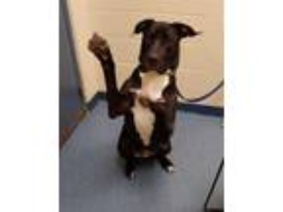 Adopt Bentley a Great Dane / American Pit Bull Terrier / Mixed dog in
