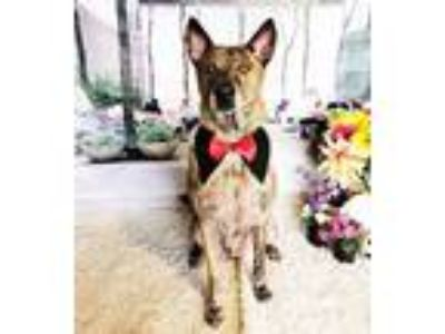 Adopt Dawa a Brindle Shepherd (Unknown Type) / Mixed dog in Castro Valley