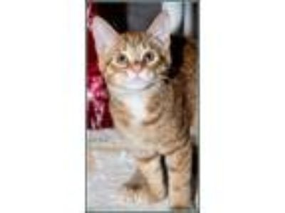 Adopt SILVERADO* a Domestic Short Hair, Tabby