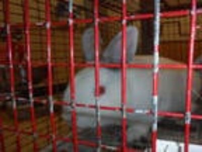 Adopt MOBY a Black Other/Unknown / Mixed rabbit in San Jose, CA (23161764)