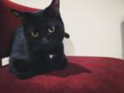 Adopt Monty a Black (Mostly) Domestic Shorthair / Mixed cat in Cary