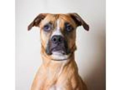 Adopt Lena a Tan/Yellow/Fawn Mixed Breed (Large) / Mixed dog in Adrian