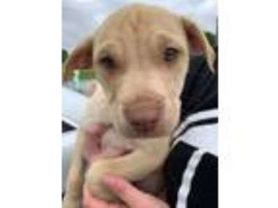 Adopt P Diddy a Tan/Yellow/Fawn - with White Labrador Retriever / Boxer / Mixed